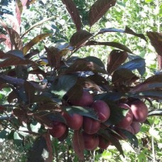 "Алича ""Лихни"",Prunus cerasifera, 3л,h=80-90см"