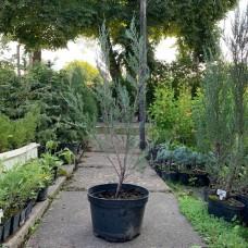 Ялівець скельний Скайрокет, Juniperus scopulorum Skyrocket, 20л, h=130-140 см