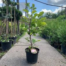 Магнолія Сатісфакшіон, Magnolia Satisfaction, 3л, h=70-80см з бутонами